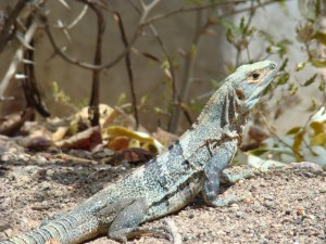 One of the iguanas, this one was about 3 feet long.