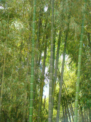 Bamboo next to the road