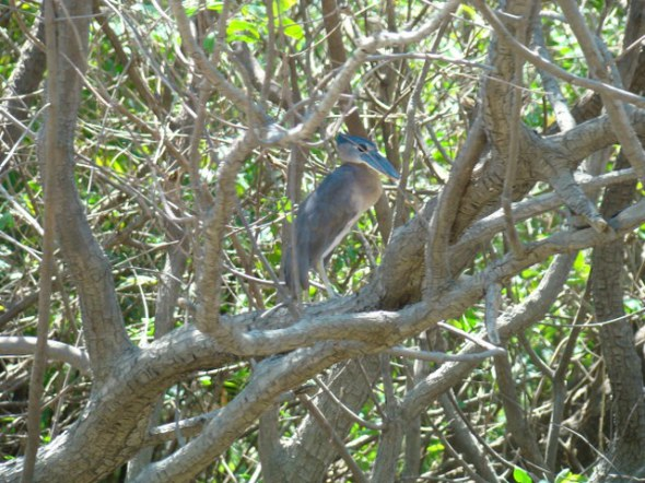 Flat billed heron
