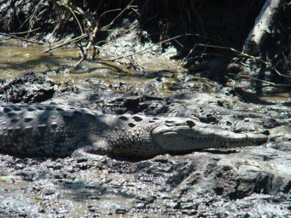 One of many crocs