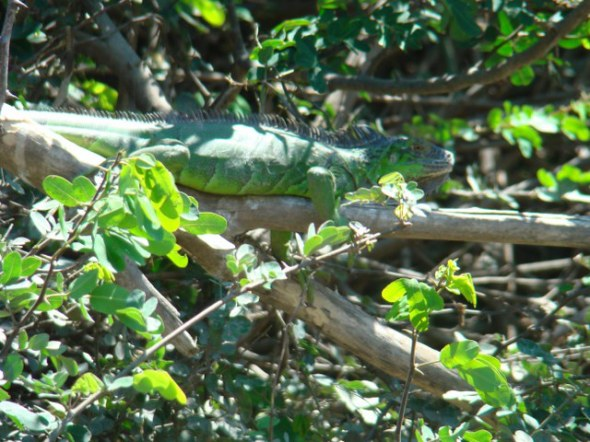 Green iguana, big one chilling or heating as it may be