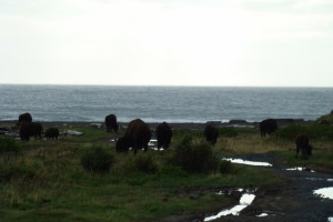 some of the buffalo