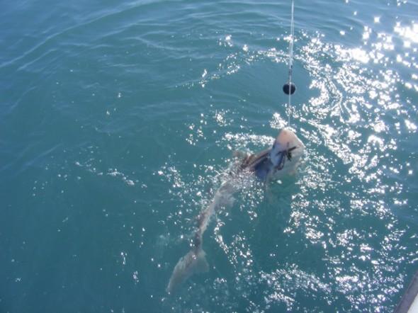 A shark.....